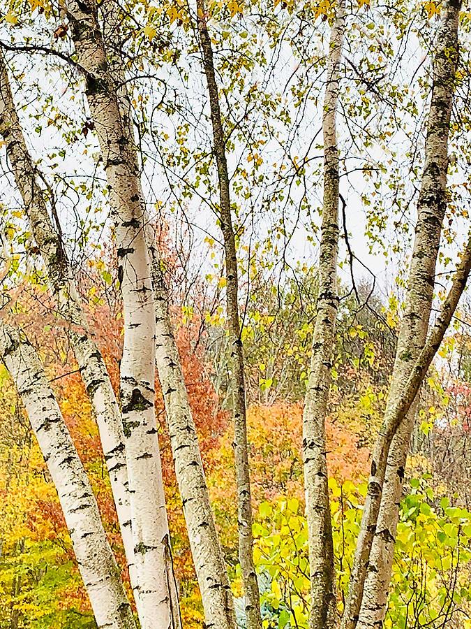 Autumn Birches Photograph by Ali Bailey