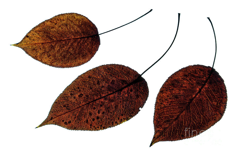 Leaves Photograph - Autumn Brown Leaves by larisa Fedotova