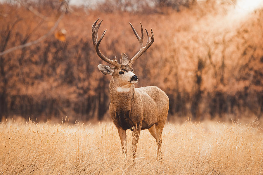 Autumn Buck by Philip Rodgers