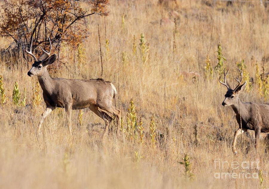 Autumn Bucks Photograph