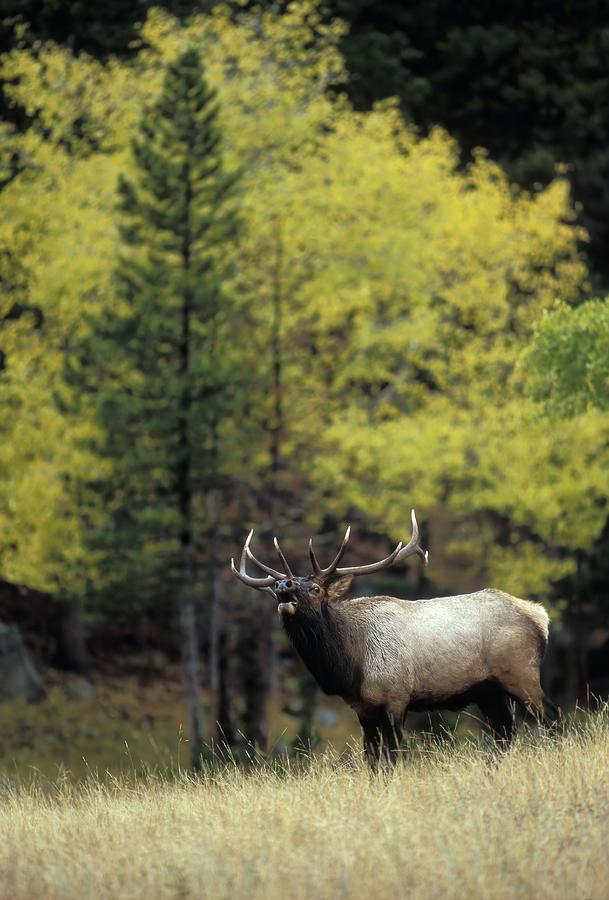 Autumn Bull Elk Bugling Photograph