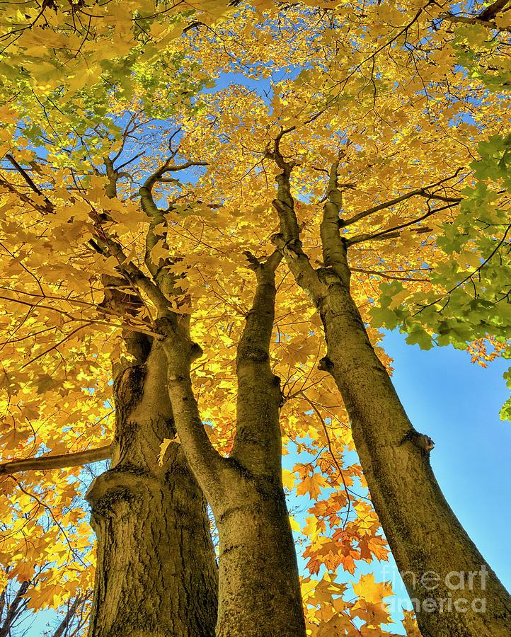 Autumn Canadian Canopy Photograph