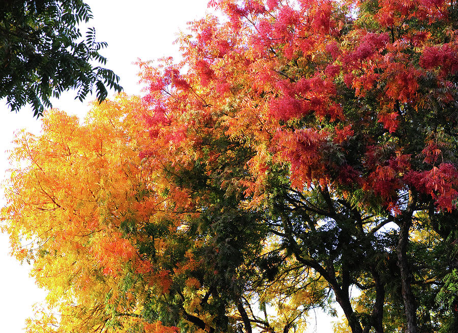 Autumn Chinese Pistache Trees Photograph By Jane Loomis