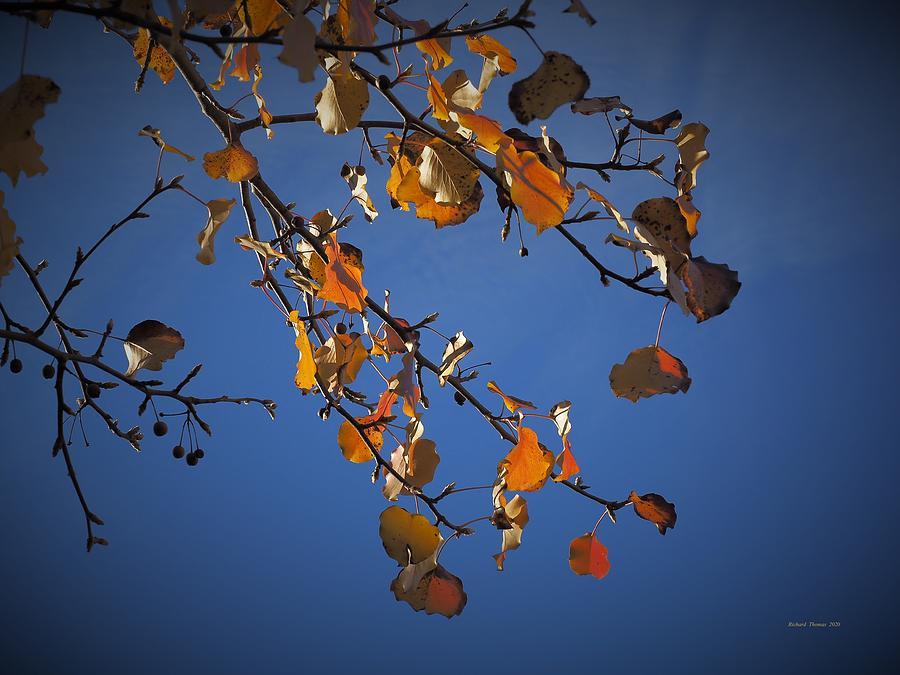 Autumn Clinging by Richard Thomas