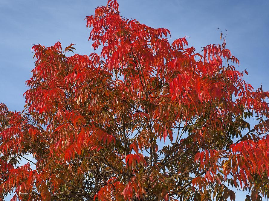 Autumn Crimson  by Richard Thomas