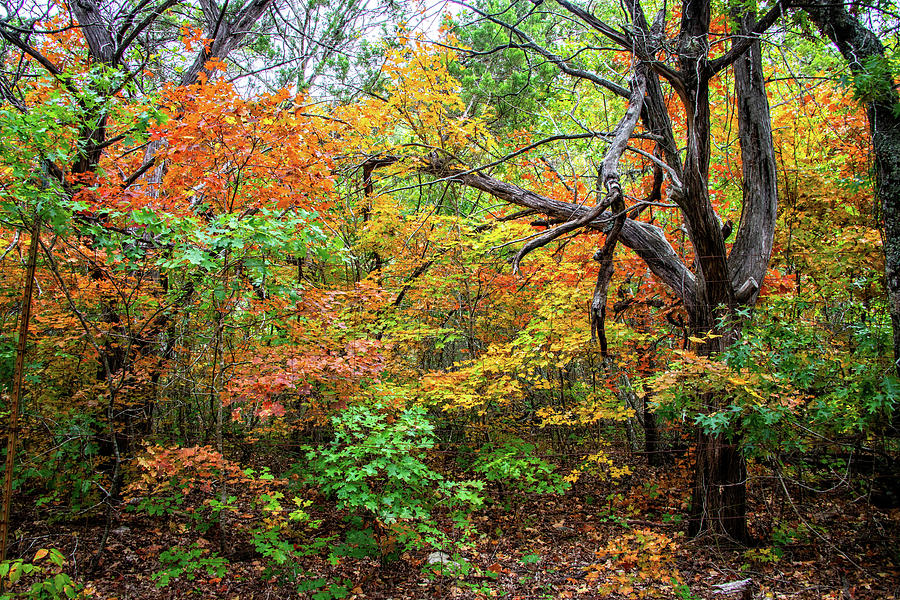 Lost Maples Photograph - Autumn Dance At Lost Maples by Lynn Bauer