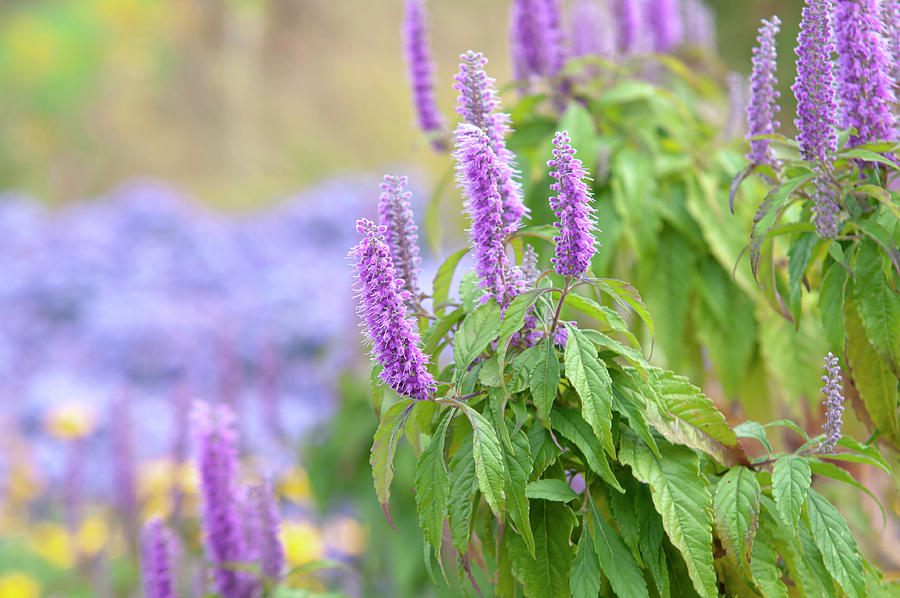 Autumn Garden with Purple Blooms of Chinese Mint Shrub 1 by Jenny Rainbow