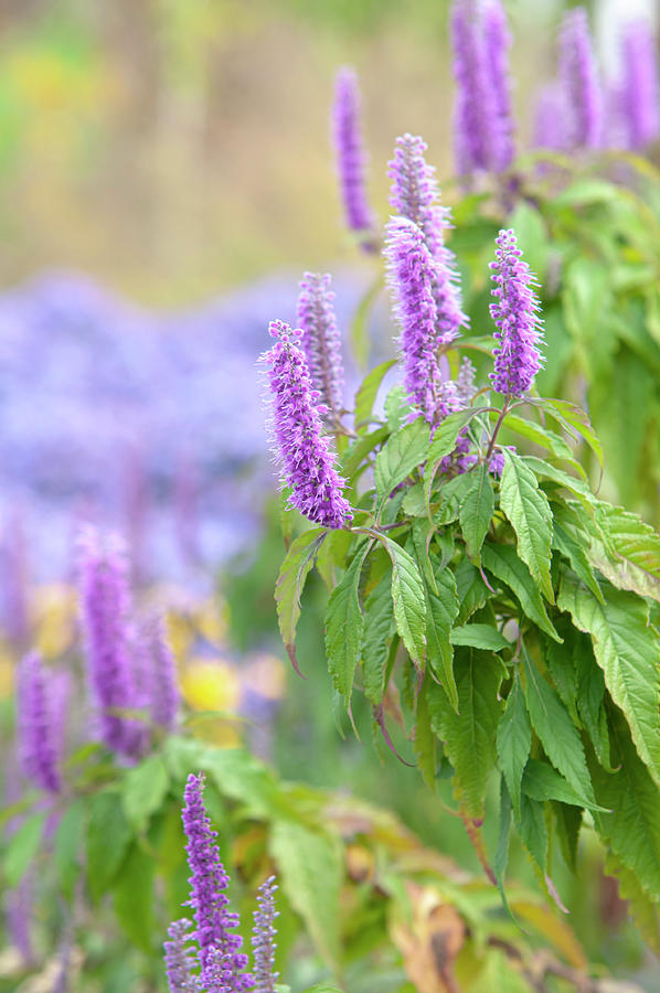 Autumn Garden With Purple Blooms Of Chinese Mint Shrub 2 by Jenny Rainbow