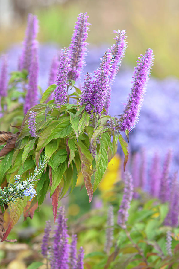 Autumn Garden with Purple Blooms of Chinese Mint Shrub 4 by Jenny Rainbow
