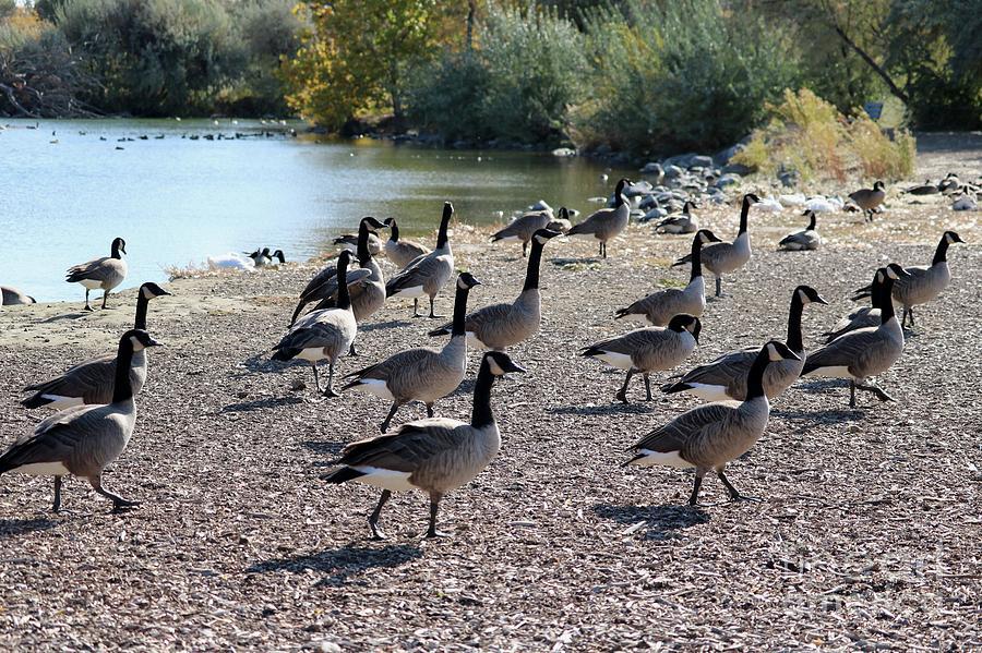Autumn Geese Lean In by Carol Groenen