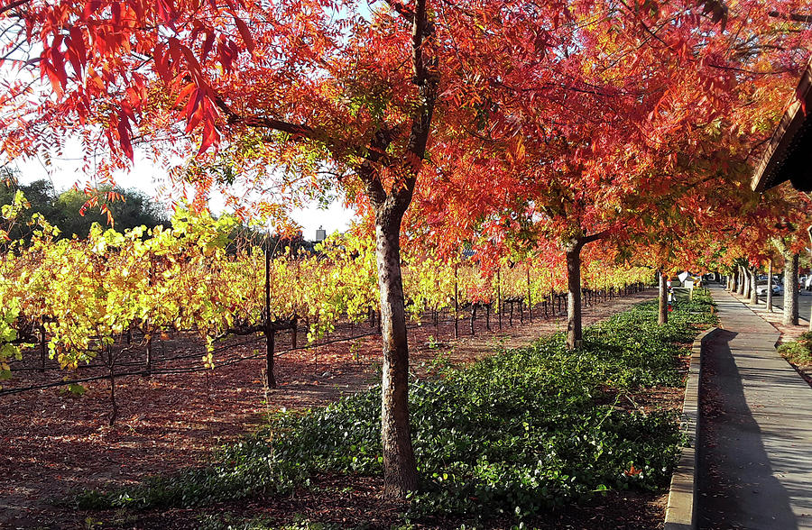 Vineyards Photograph - Autumn Lane by D Patrick Miller