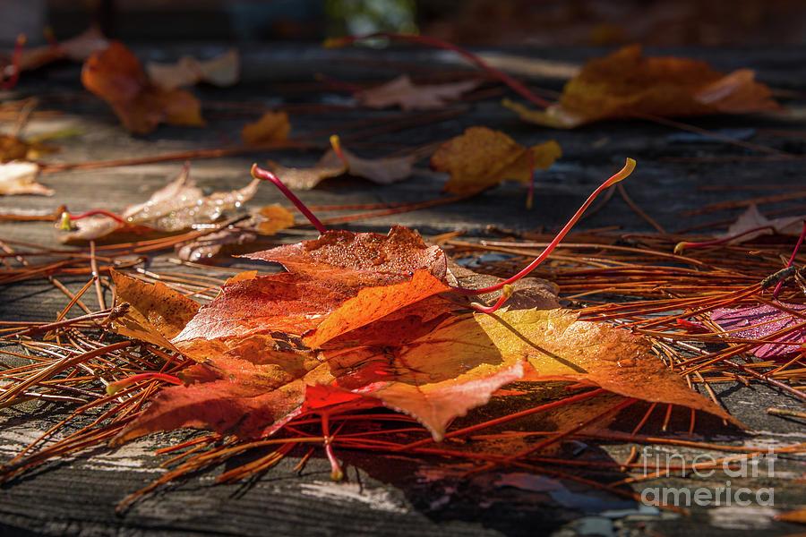 Autumn maple leaves by Jola Martysz