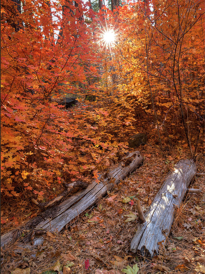 Autumn Maples by Sue Cullumber