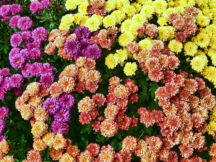 Autumn Mums 3 by Allen Beatty