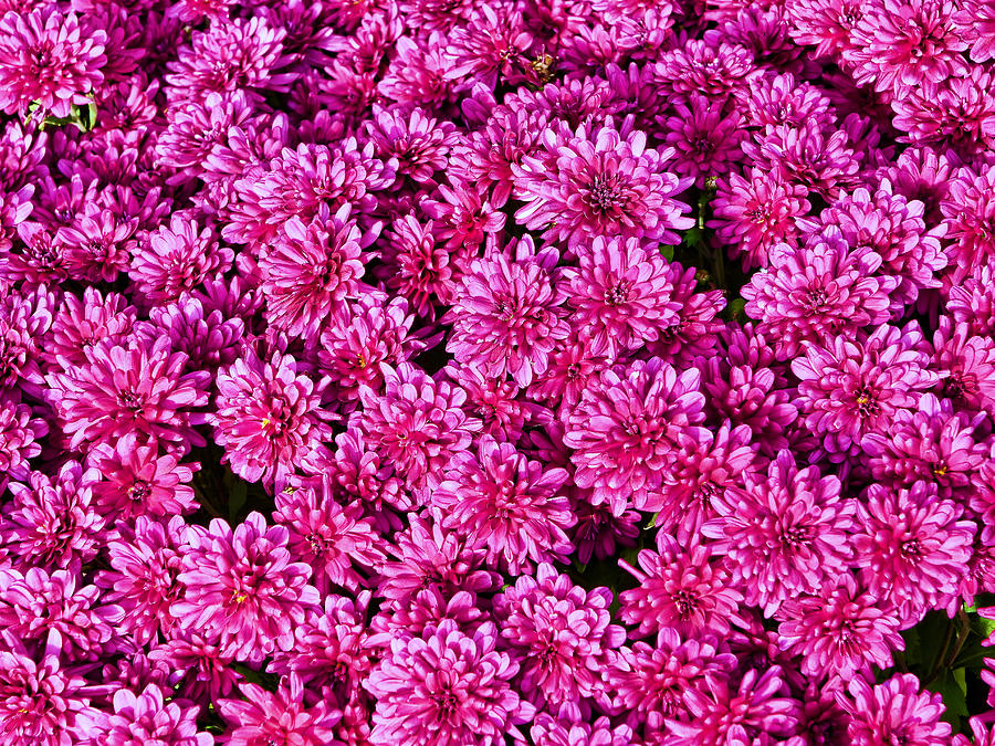 Autumn Mums  4 by Allen Beatty