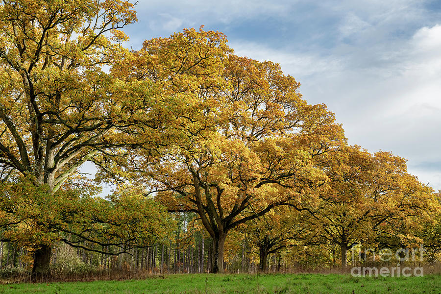 Autumn Oak Trees in Blenheim Park by Tim Gainey