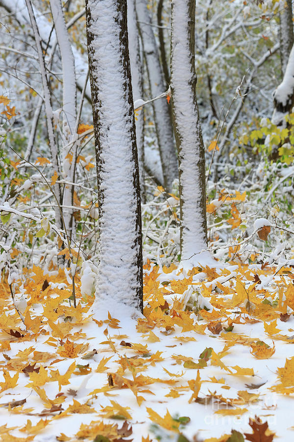 Autumn Snow Storm by Paula Guttilla