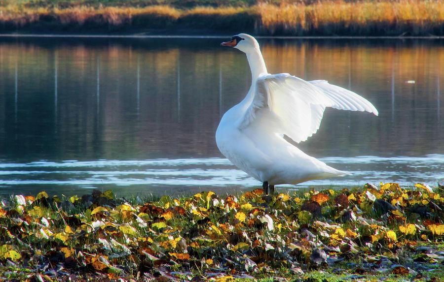 Autumn Swan by Steph Gabler