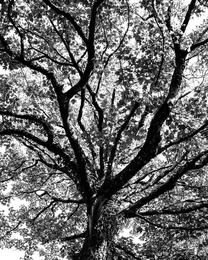 Black And White Photograph - Autumn Sycamore by Bear R Humphreys