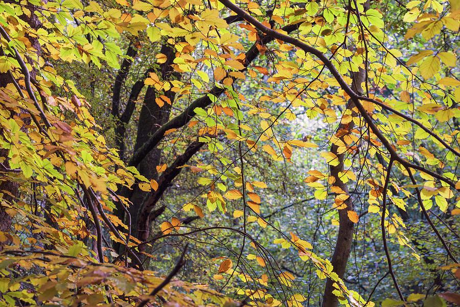 Autumn Photograph - Autumn woodland  by Nick Lewis