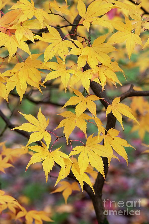 Acer Palmatum Photograph - Autumnal Acer Amoenum Yellow Foliage by Tim Gainey