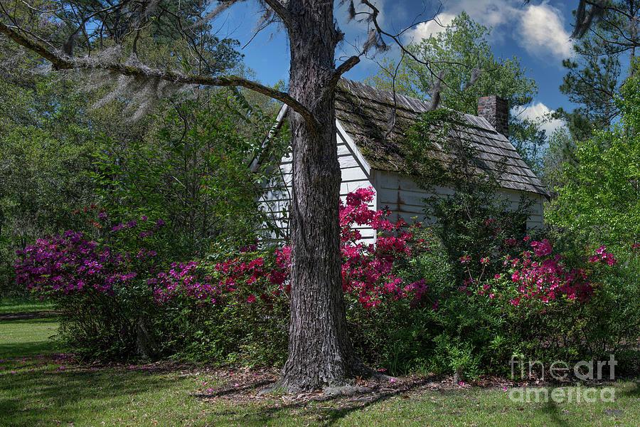Azaleas Blooming - Magnolia Plantation Grounds And Gardens - Charleston Photograph