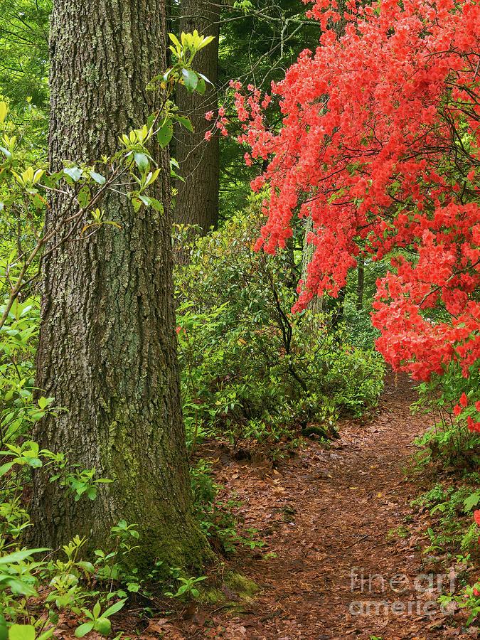 Azaleas in Bloom by Sharon Seaward