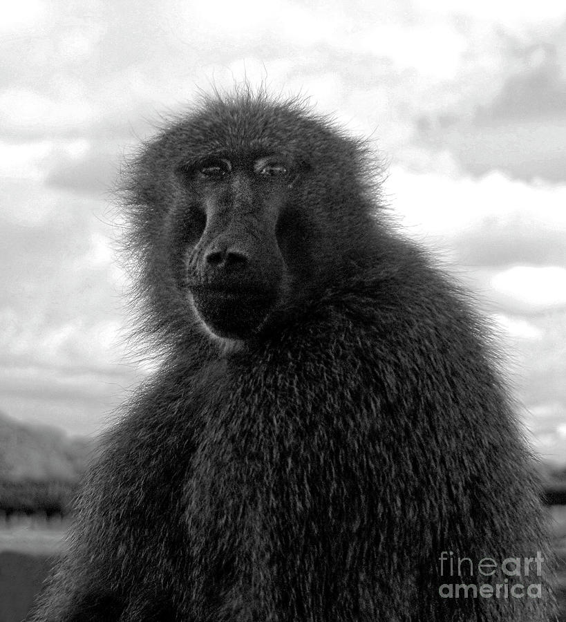 Baboon by Doc Braham