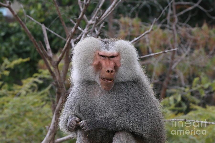 Baboon Photograph