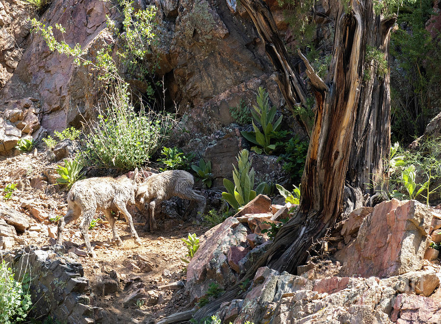 Baby Bighorns Dueling Photograph