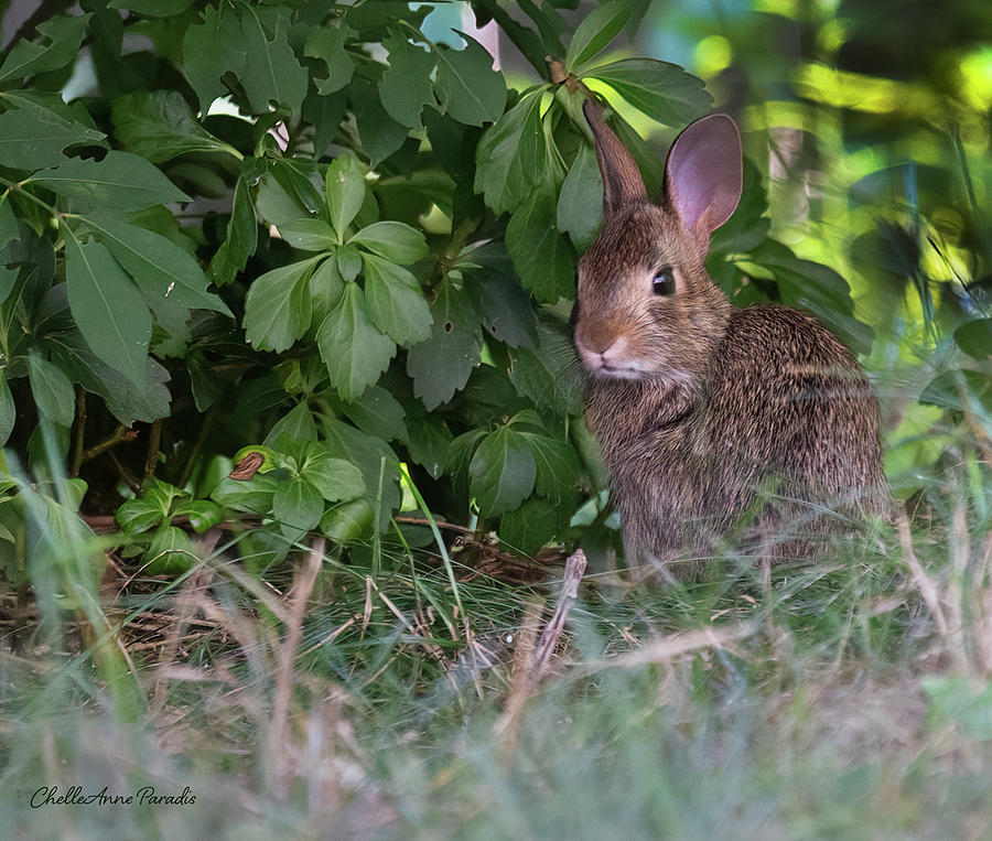 Baby Bunny Photograph by ChelleAnne Paradis