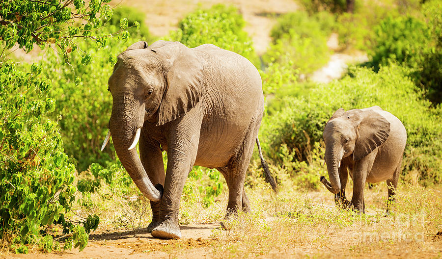 Baby Elephant In Africa Photograph