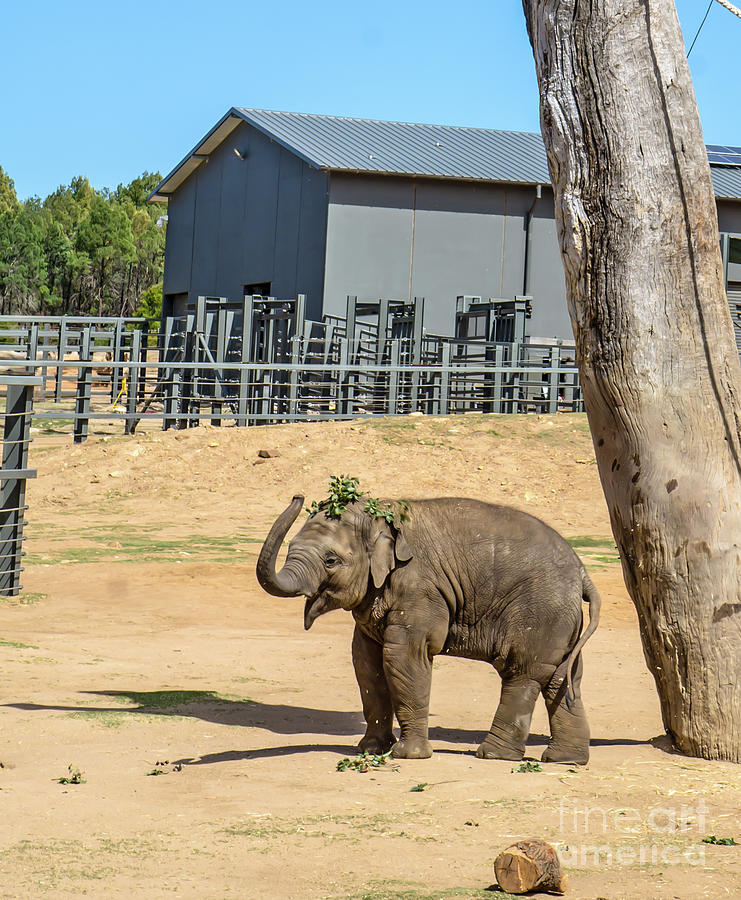 Baby Elephant Playing With Breakfast Photograph