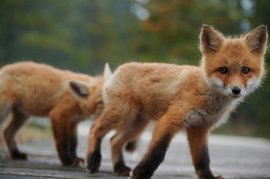 Baby Foxes Photograph