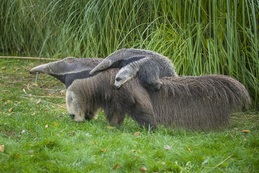 Baby Giant Anteater with her mother. Myrmecophaga tridactyla Photograph by Daniel Hernanz Ramos