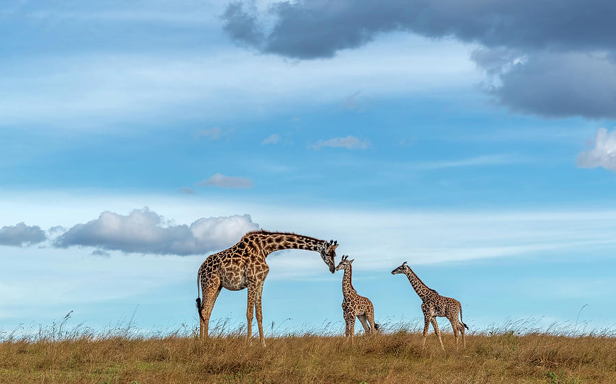 Baby Giraffe kissing her mother in the forehead with love by Pradeep Raja PRINTS