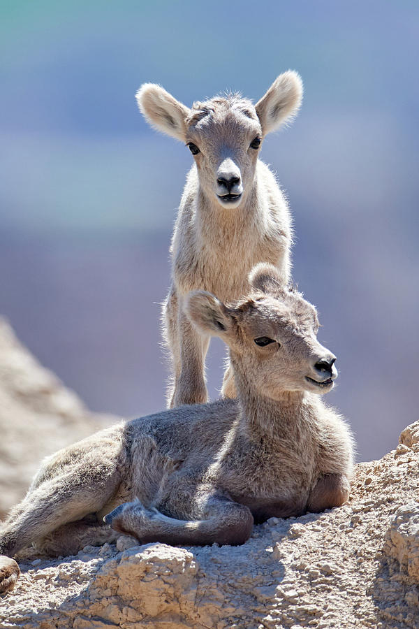 Baby Goats by Paul Freidlund
