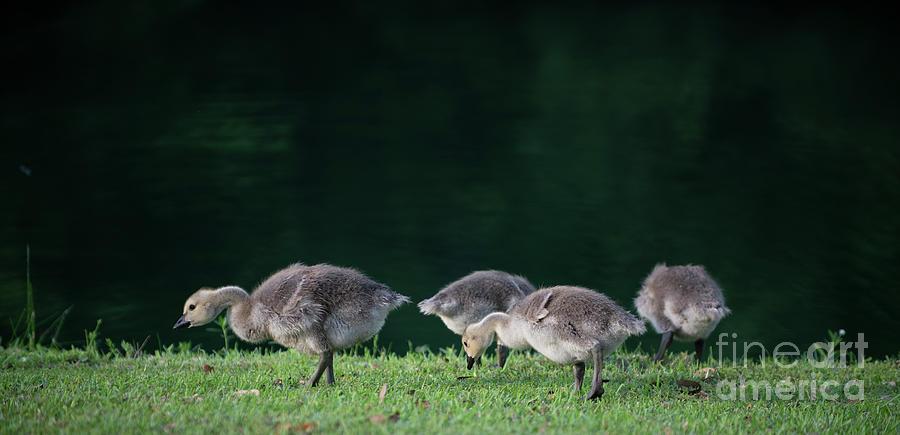 Baby Goslings Feeding On Grass Blades Photograph