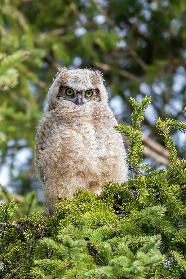 Owl Photograph - Baby Great Horned Owl by Linda Ryma