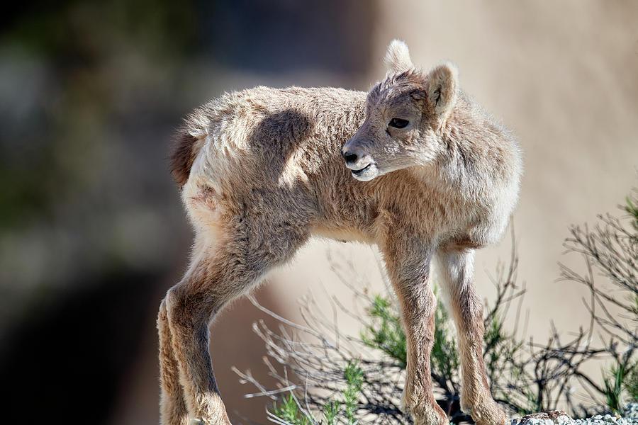 Baby Mountain Goat by Paul Freidlund