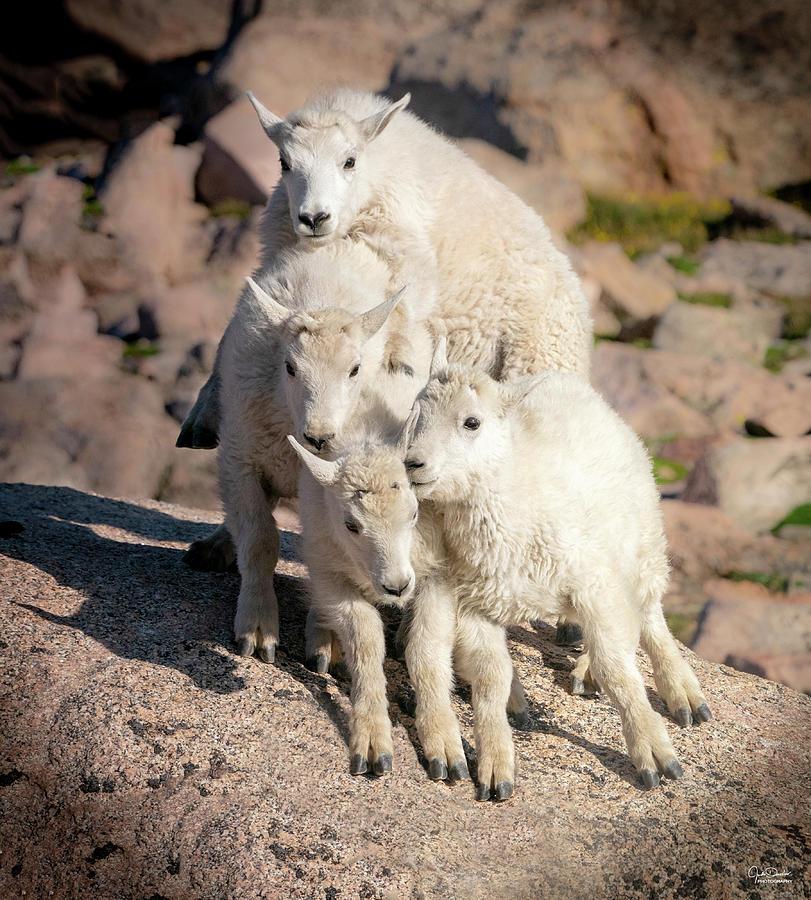 Baby Mountain Goat Pyramid Photograph