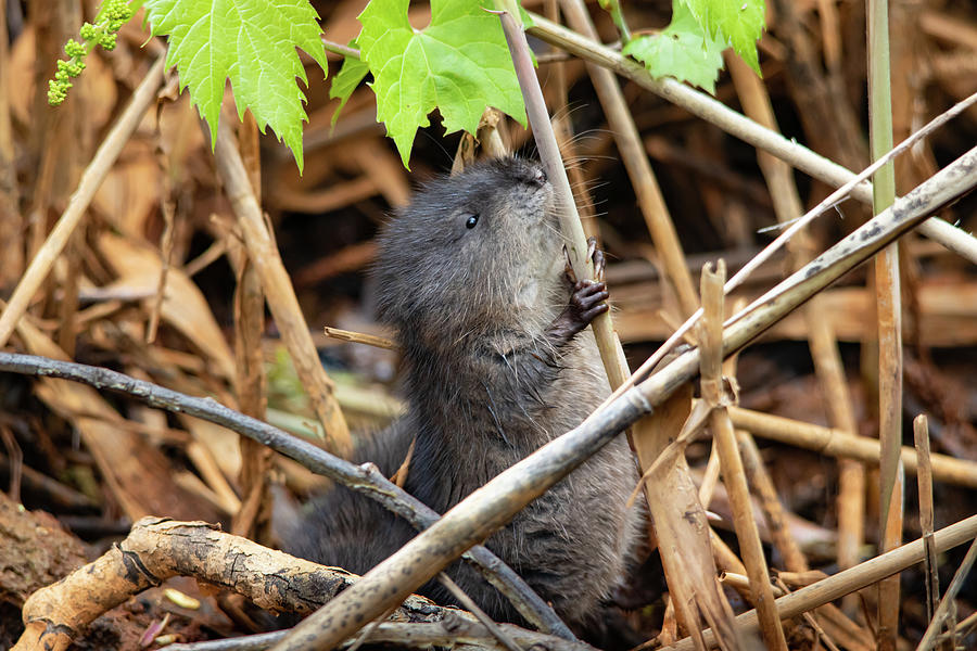 Baby Muskrat Holding On Photograph