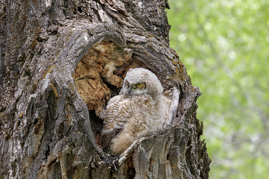 Baby Owl by Ronnie and Frances Howard