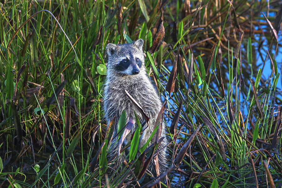Baby Raccoon by Juergen Roth