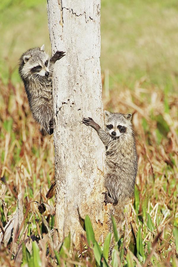 Baby Raccoons Climbing Tree Photograph