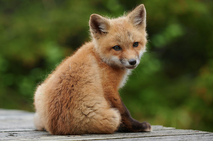 Red Photograph - Baby red fox by Curtis Patterson