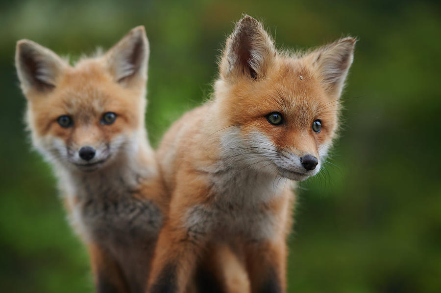 Baby Red Foxes Photograph