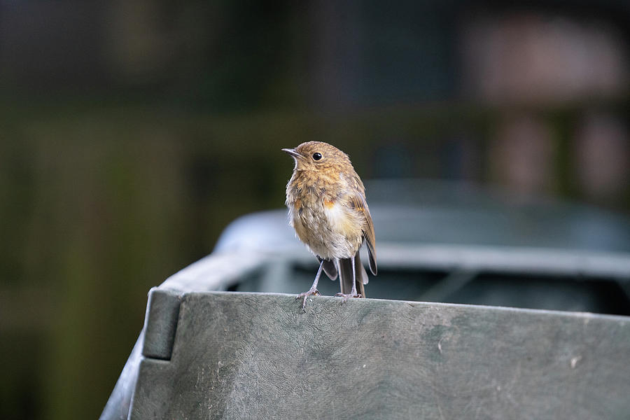 Robin Photograph - Baby Robin by Nick Lewis