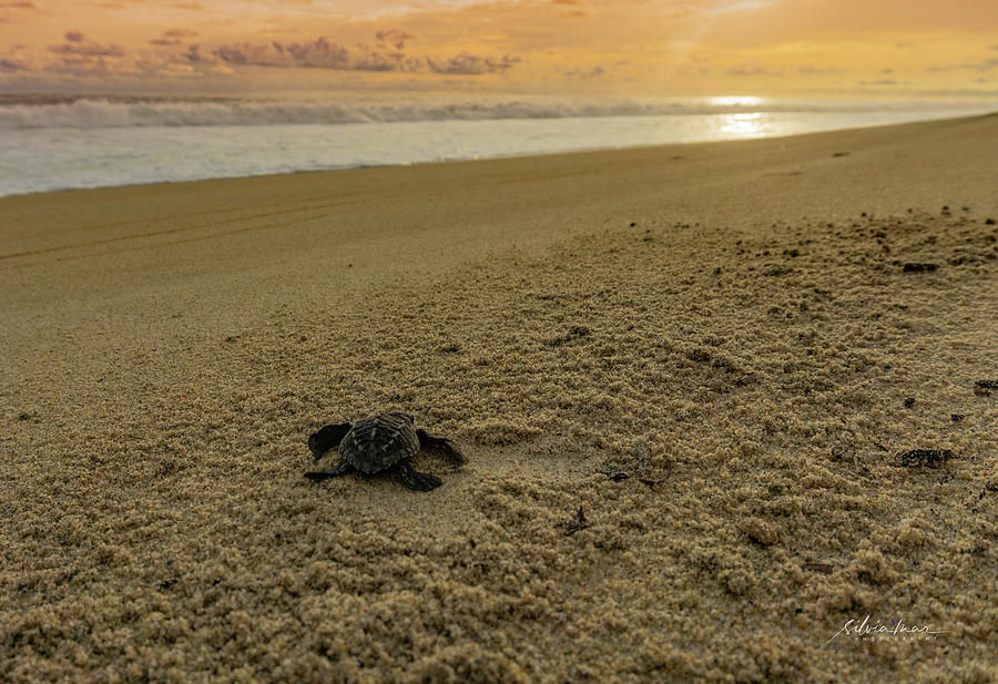 Baby turtle by Silvia Marcoschamer