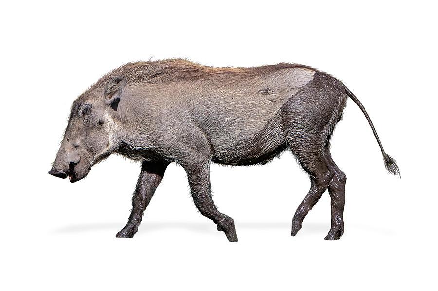 Baby Warthog Walking Side Isolated by Susan Schmitz